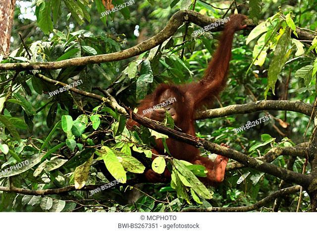 orang-utan, orangutan, orang-outang Pongo pygmaeus, young animal sitting on a tree, Malaysia, Sabah