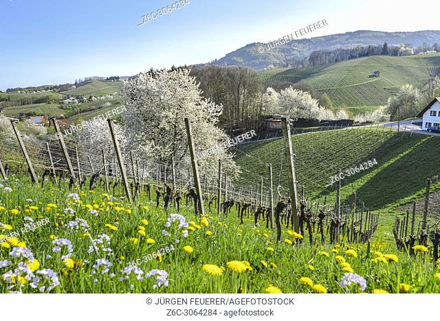 Spring in the foothills of Black Forest, resort town, Sasbachwalden, Germany, vineyard and blooming fruit trees, Black Forest kirsch trees