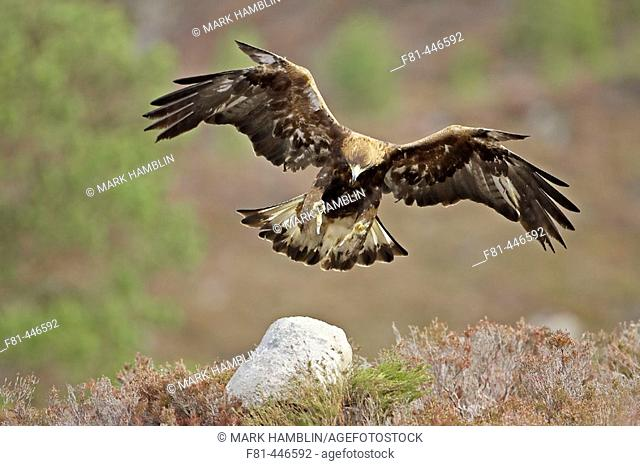 Golden Eagle (Aquila chrysaetos) adult in flight, alighting on rock on moorland. Scotland. (captive-bred bird)
