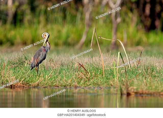 Thailand, Purple Heron, Ardea purpurea, 21/04/2014