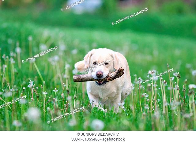 Labrador Retriever. Yellow adult male walking in a meadow with blowballs, carrying a stick. Germany