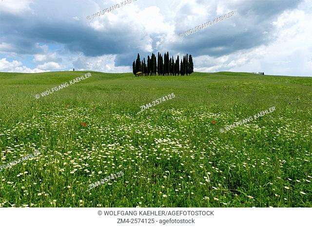 Cumulus clouds building up over a group of Italian cypress trees (Cupressus sempervirens) near San Quirico in the Val d'Orcia near Pienza in Tuscany, Italy