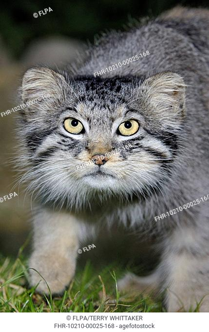 Pallas's Cat Felis manul adult, close-up of head, summer coat