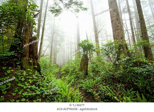 Rainforest, Salal, Gaultheria shallon, Deer fern, Blechnum spicant, False Lily-of-the-Valley, Maianthemum dilatatum, West Coast Trail