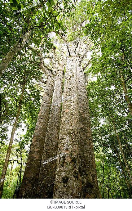 Northland, Waipoua Forest, giant Kauri trees