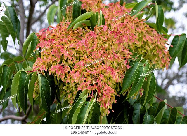 Ailanthus altissima is an invasive shrub tree in Europe after escape from the botanical gardens and severely harming local flora