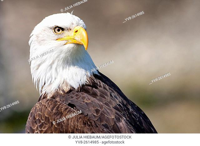 Portrait of a bald eagle in Vancouver, Canada