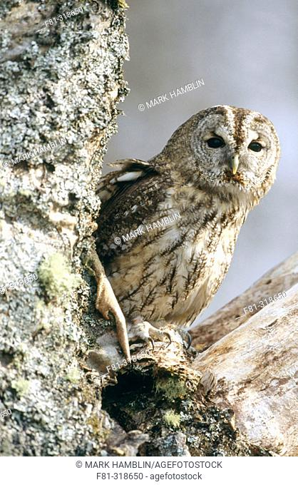 Tawny olw (Strix aluco). Adult peering out from roost site in tree. Cairngorms National Park. Scotland. UK
