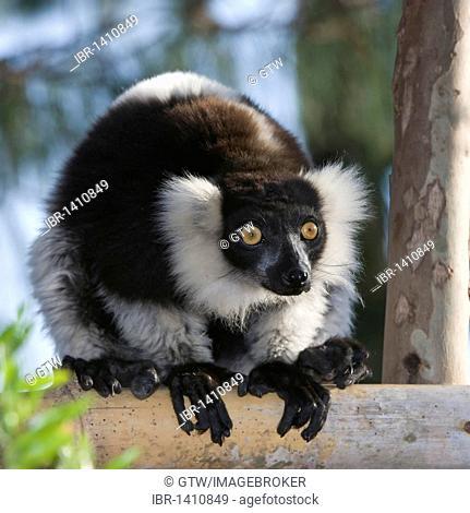 Black-and-White Ruffed Lemur (Varecia variegata), endemic, Critically Endangered, IUCN 2008, Madagascar, Africa