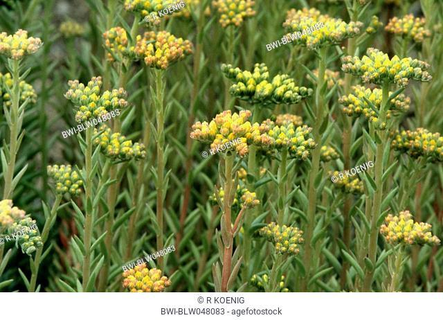 reflexed stonecrop, stone orpine, crooked yellow stonecrop, Jenny's stonecrop Sedum rupestre, Sedum reflexum, flower buds