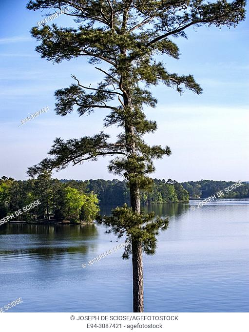 A tall pine tree with blue sky, lake and shore line in the background, Lay Lake, Alabama, USA