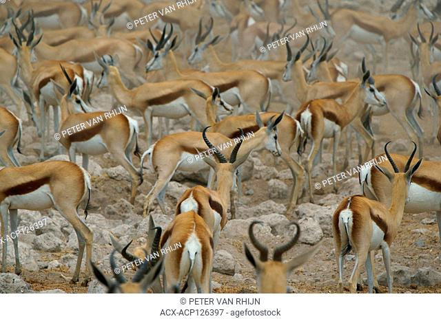 Springbok (Antidorcas) scatter in all directions as a lion approaches an Etosha watering hole. Etosha National Park,Namibia.Africa