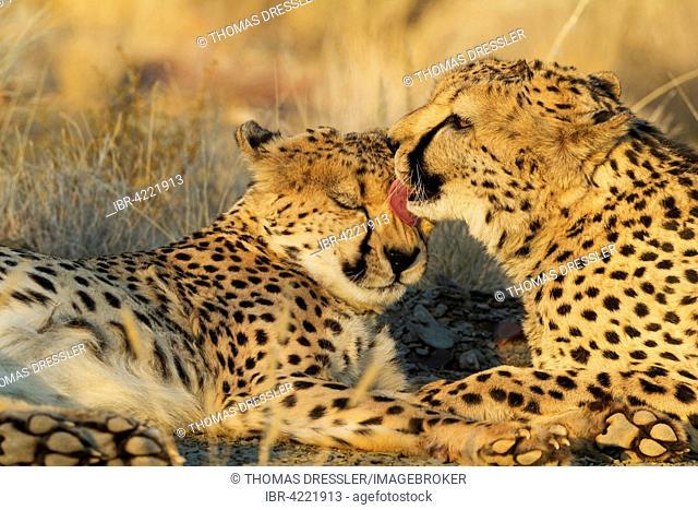 Cheetah (Acinonyx jubatus), grooming males in the evening, captive, Namibia