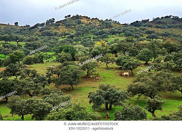Meadow of oaks. Cattle. Natural Park of Aracena and Picos de Aroche. Huelva. Andalucia. Spain