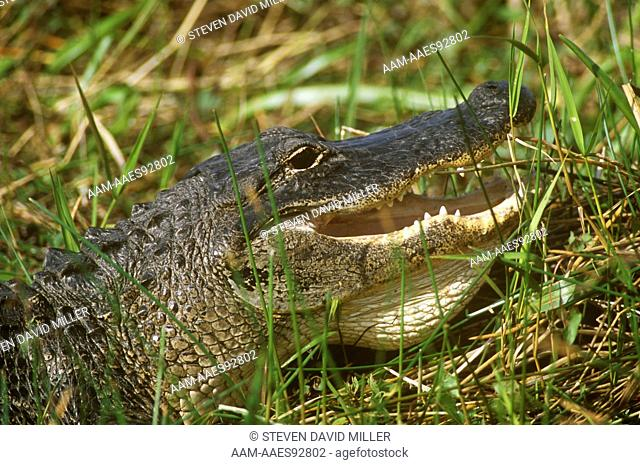 American Alligator (A. mississippiensis) Head Detail, Everglades, Florida