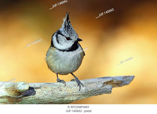 Crested tit - standing on branch / Lophophanes cristatus