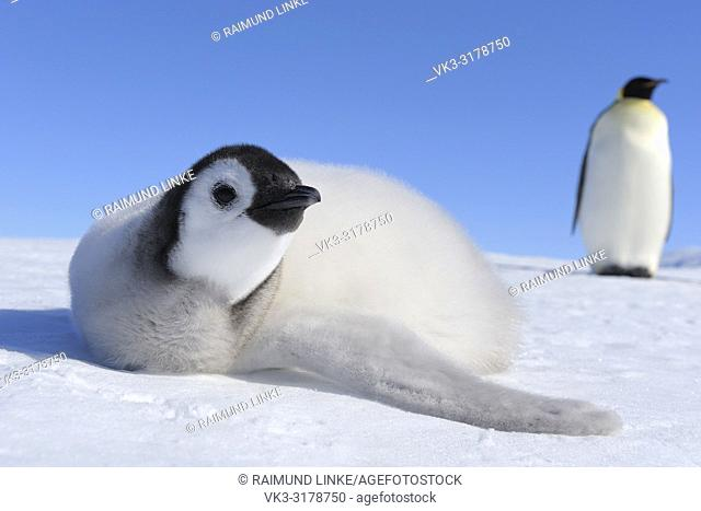 Emperor penguins, Aptenodytes forsteri, Chick is Lying on Ice, Snow Hill Island, Antartic Peninsula, Antarctica