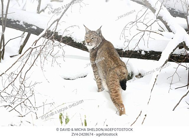 Close-up of a Eurasian lynx (Lynx lynx) in winter