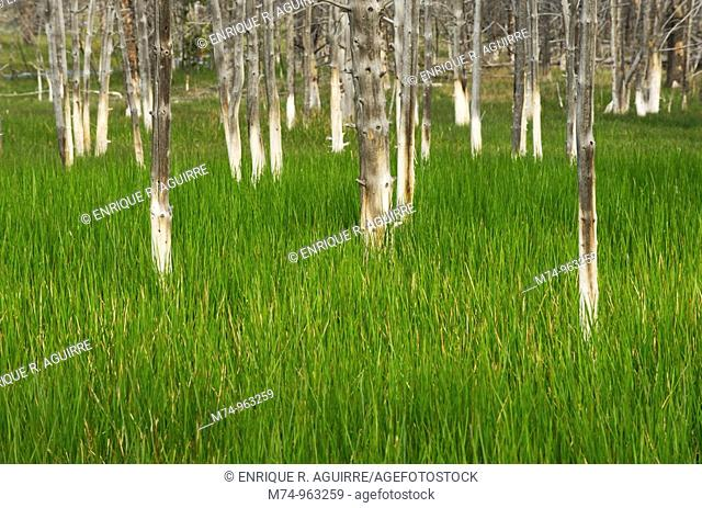 Dead trees, killed by water from a thermal spring in a meadow of tall grass, Yellowstone National Park, Wyoming, USA