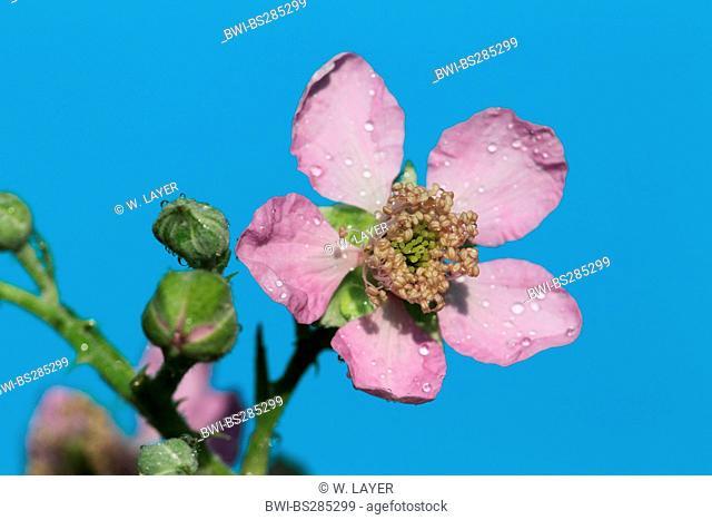 shrubby blackberry (Rubus fruticosus), flower, Germany