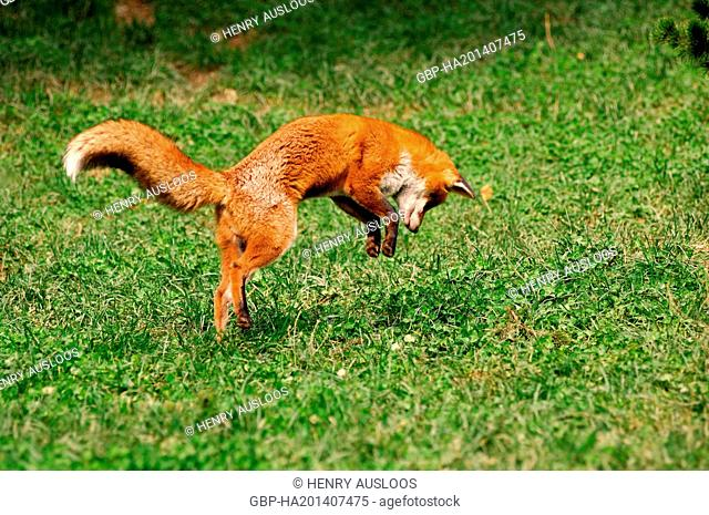 Red Fox - Pouncing on mouse (Vulpes vulpes)