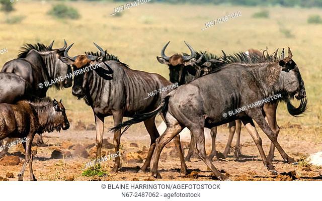 Blue wildebeest (gnu) running, Nxai Pan National Park, Botswana