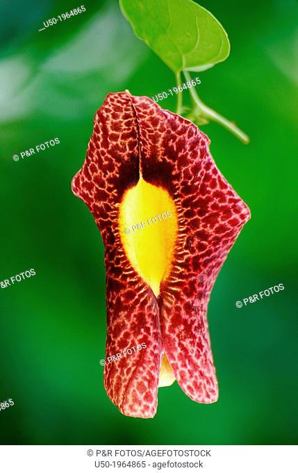 Flower of Aristolochia sp., Aristolochiaceae, Angiospermae