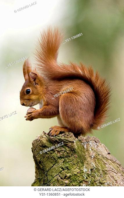 RED SQUIRREL sciurus vulgaris, ADULT EATING HAZELNUT, NORMANDY