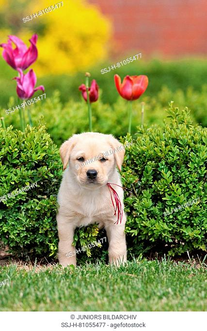 Labrador Retriever. Yellow puppy (8 weeks old) in a Boxwood hedge. Germany