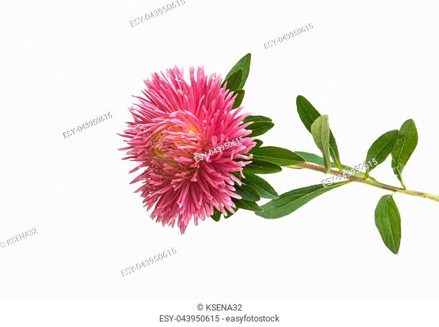 beautiful asters isolated on white background