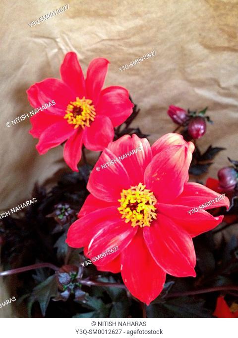 Pink flowers in a garden pot