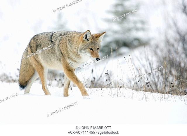 Coyote in Banff National Park, Alberta, Canada