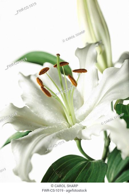 Lilium 'Casa Blanca', Lily
