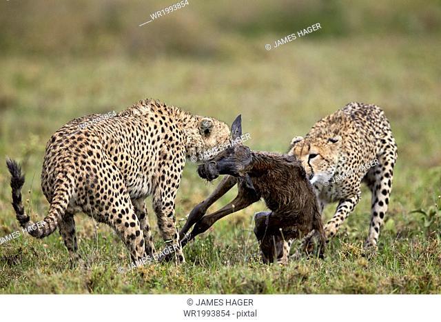 Two male cheetah (Acinonyx jubatus) killing a new born blue wildebeest (brindled gnu) (Connochaetes taurinus) calf, Ngorongoro Conservation Area, Serengeti