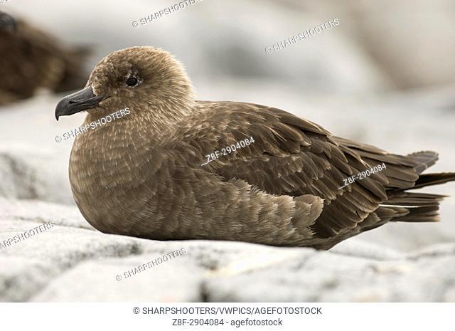 Antarctica, Antarctic Peninsula, Lemaire Channel, Petermann Island, South Polar Skua (Stercorarius maccormicki)
