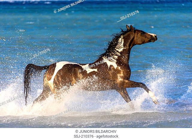 Pintabian. Skewbald mare galloping in shallow water. Egypt