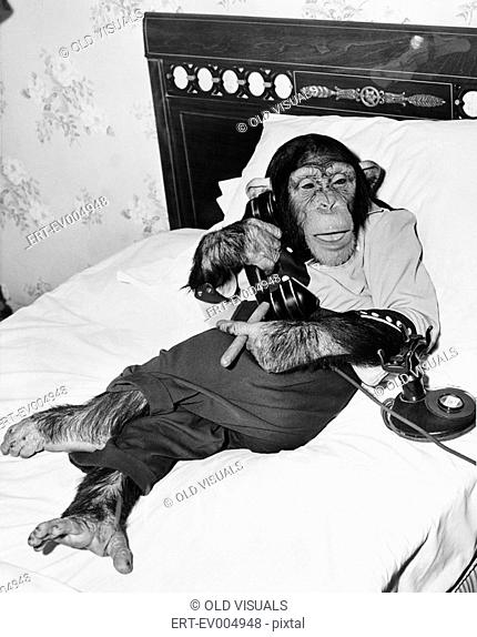 Chimpanzee sitting in bed on the telephone and smoking a cigar All persons depicted are not longer living and no estate exists Supplier warranties that there...