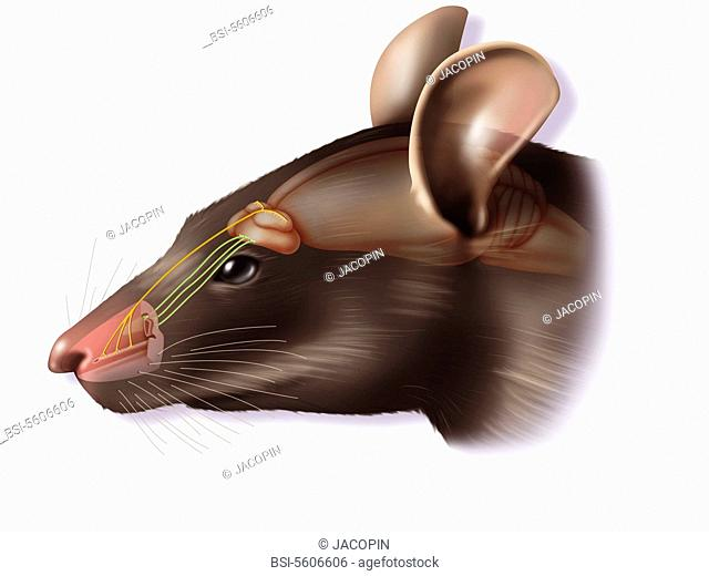 The vomeronasal organ. Representation of the main olfactory system and the vomeronasal organ in the rat, as well as their connections with the brain