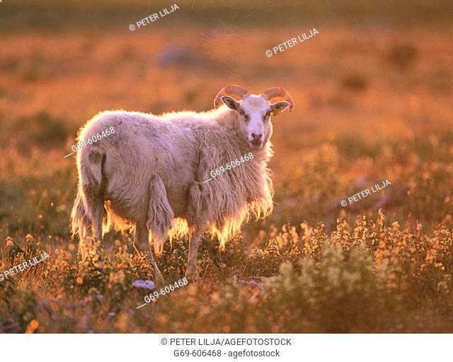 Sheep in evening light. Gotland. Sweden