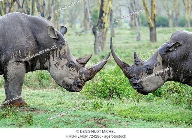 Kenya, Nakuru national park, white rhinoceros (Ceratotherium simum) battle in the rain