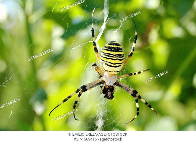 Wasp spider Argiope bruennichii
