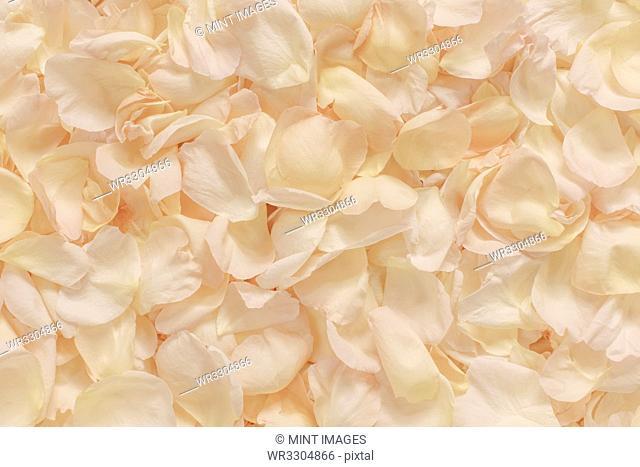 Pale pink rose petals scattered, full frame