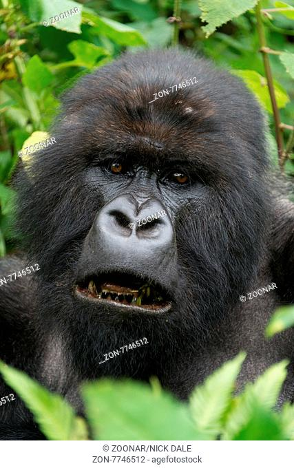 A male silverback gorilla looks straight at the camera with his mouth open, showing his blackened teeth. His head is surrounded by leaves and branches in the...