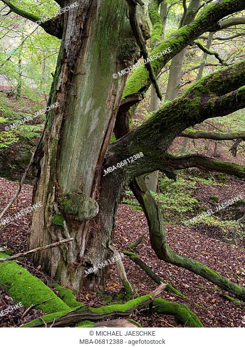 old beech, Kellerwald-Edersee National Park, Paradies, Kellerwald, Hessia, Germany