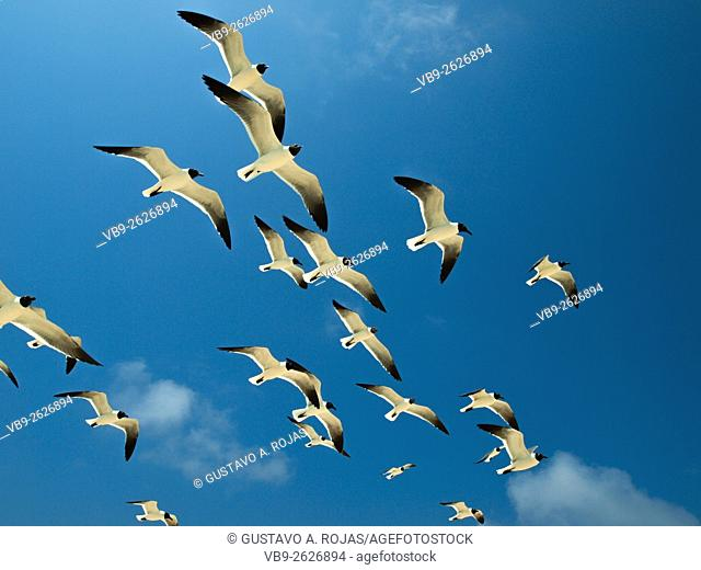 Seabirds full Animal Themes Flying, Gulls Bonaparte 1 Animal Flying Gull Bonaparte in sky (Chroicocephalus philadelphia)