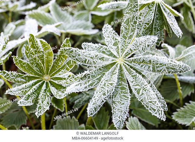 frost-covered leaves, ice crystals