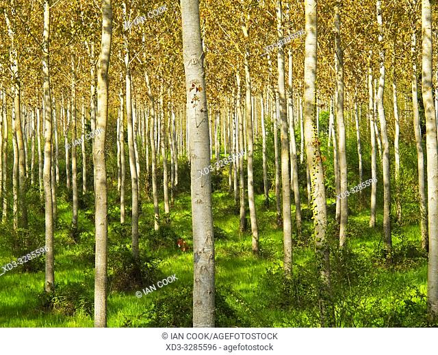 poplar grove beside the Canal de Garonne near Le Mas dâ. . Agenais, Lot-et-Garonne Department, Nouvelle-Aquitaine, France