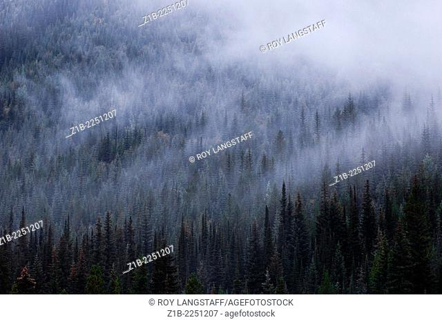 Ethereal fog in a pine forest, British Columbia, Canada