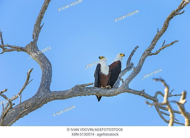 African fish eagle (Haliaeetus vocifer), Tanzania, East Africa