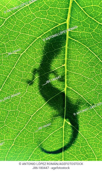 Lizard shadow on leaf